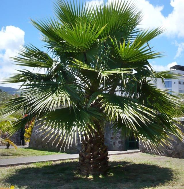mexican-fan-palm-waaier-palm-cotton-palm-washingtonia-robusta