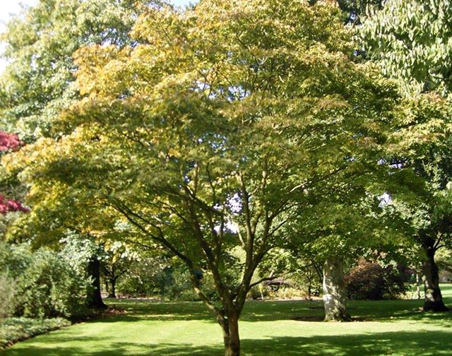 japanese-maple-tree-acer-palmatum